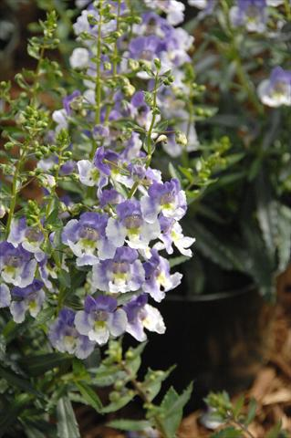 photo of flower to be used as: Pot, bedding, patio, basket Angelonia Angelface Blu Bicolor