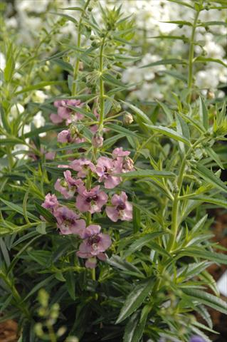 photo of flower to be used as: Pot, bedding, patio, basket Angelonia Angelface Pink