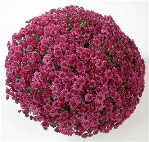 photo of flower to be used as: Pot and bedding Chrysanthemum Belgian Astrix