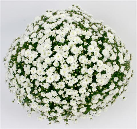 photo of flower to be used as: Pot and bedding Chrysanthemum Belgian Campina