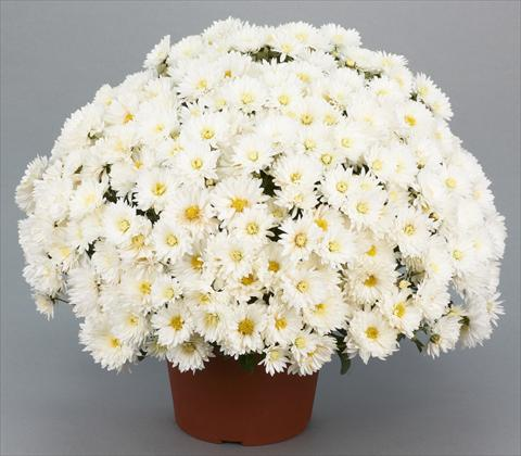 photo of flower to be used as: Pot and bedding Chrysanthemum Belgian Isaura White