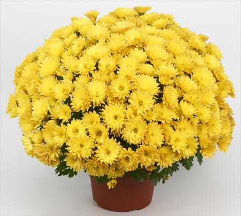 photo of flower to be used as: Pot and bedding Chrysanthemum Belgian Marjolein Yellow