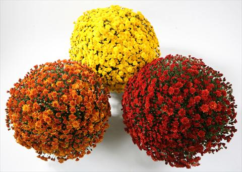 photo of flower to be used as: Pot and bedding Chrysanthemum Belgian Samini yellow red bronze