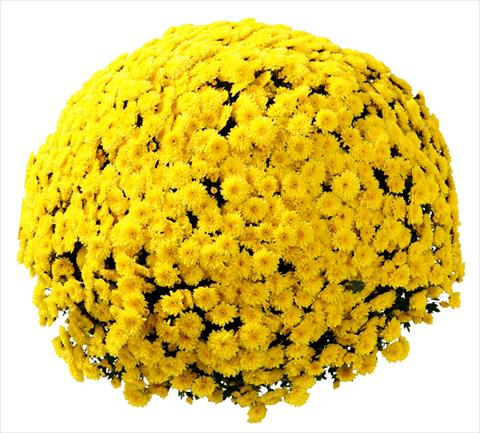 photo of flower to be used as: Pot and bedding Chrysanthemum Belgian Vittorio