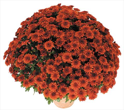 photo of flower to be used as: Pot and bedding Chrysanthemum Golette Borea Cuivre