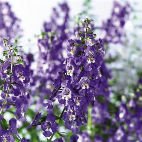 photo of flower to be used as: Pot, bedding, patio, basket Angelonia angustifolia pac® Adessa Blu