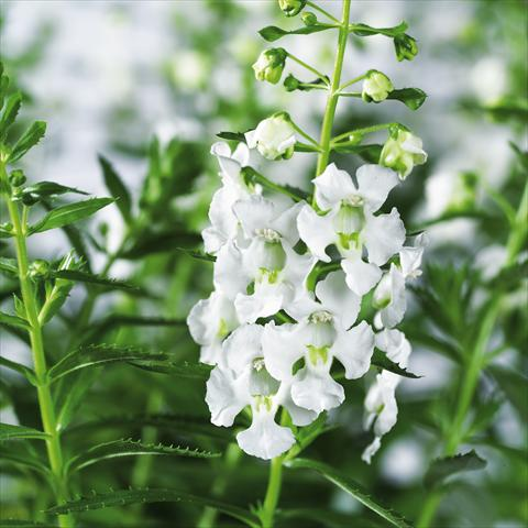 photo of flower to be used as: Pot, bedding, patio, basket Angelonia angustifolia pac® Adessa White