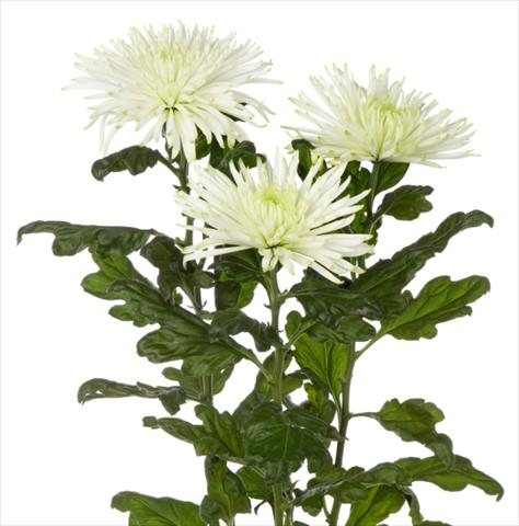 photo of flower to be used as: Cutflower Chrysanthemum Anastasia Star Mint