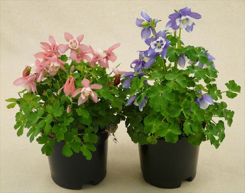 photo of flower to be used as: Pot and bedding Aquilegia caerulea Spring Magic Mix