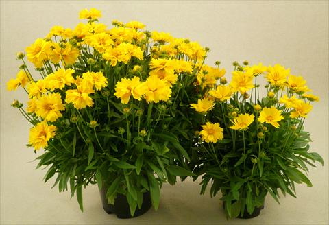 photo of flower to be used as: Pot and bedding Coreopsis grandiflora Illico