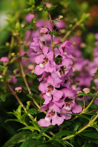photo of flower to be used as: Pot, bedding, patio, basket Angelonia angustifolia Serenita™ Lavender Pink