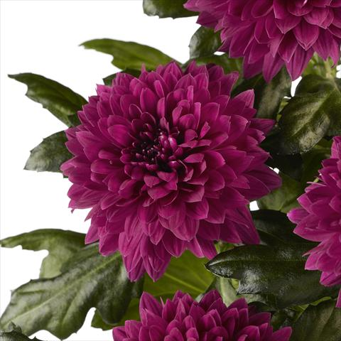 photo of flower to be used as:   Chrysanthemum Dante Purple