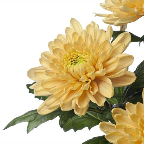 photo of flower to be used as:   Chrysanthemum Rossano Orange