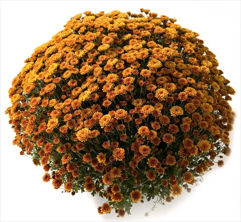 photo of flower to be used as: Pot and bedding Chrysanthemum Belgian Renata