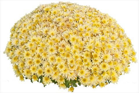 photo of flower to be used as: Pot and bedding Chrysanthemum Pasoa Vanille 2013
