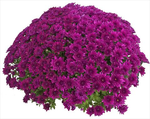 photo of flower to be used as: Pot and bedding Chrysanthemum Zelda Violet 2013