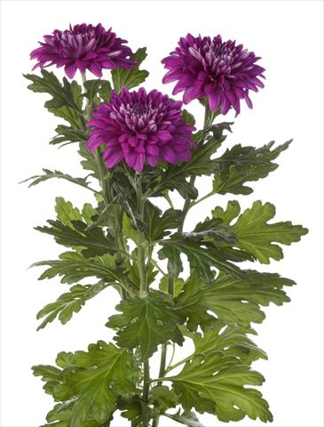 photo of flower to be used as: Pot and bedding Chrysanthemum Desna Dark