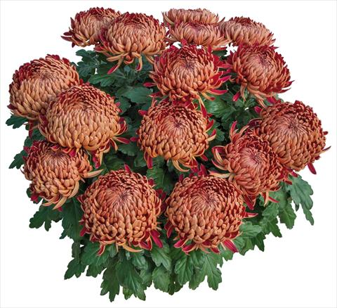 photo of flower to be used as: Pot and bedding Chrysanthemum Dakota Rouge
