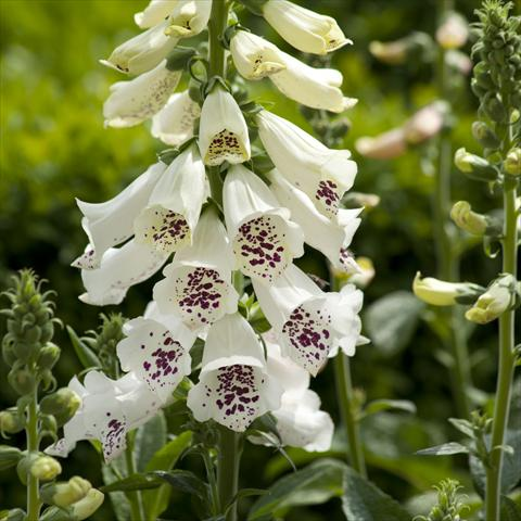 photo of flower to be used as: Bedding / border plant Digitalis purpurea Dalmatian White Improved