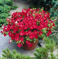 Tiny Tunia Red