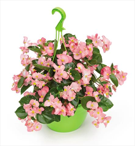 photo of flower to be used as: Pot and bedding Begonia x benariensis BIG Pink Green Leaf