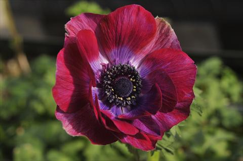 photo of flower to be used as: Cutflower Anemone coronaria L. Mistral Bordeaux