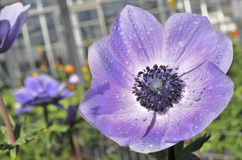 photo of flower to be used as: Cutflower Anemone coronaria L. Mistral Plus Nadja