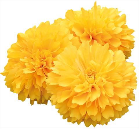 photo of flower to be used as: Pot and bedding Coreopsis grandiflora Solanna Golden Sphere