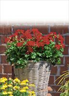 TOP balcony, garden and cut flower varieties:  Pelargonium interspec. Marcada Dark Red