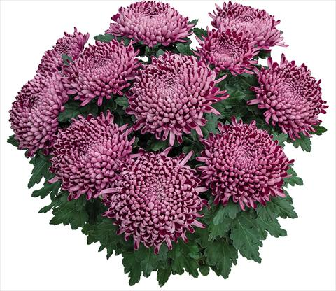 photo of flower to be used as: Pot Chrysanthemum Cyrano Violet