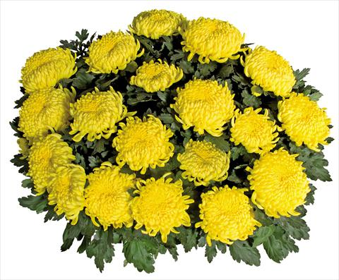 photo of flower to be used as: Pot Chrysanthemum Savona Jaune