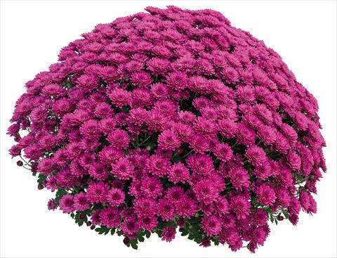 photo of flower to be used as: Pot Chrysanthemum Atol Violet