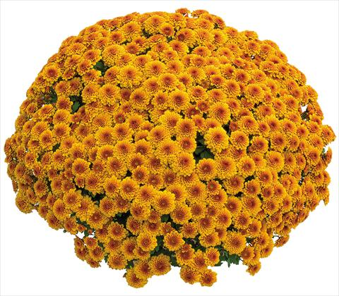 photo of flower to be used as: Pot Chrysanthemum Crisantemo a fiore Piccolo Capri Orange