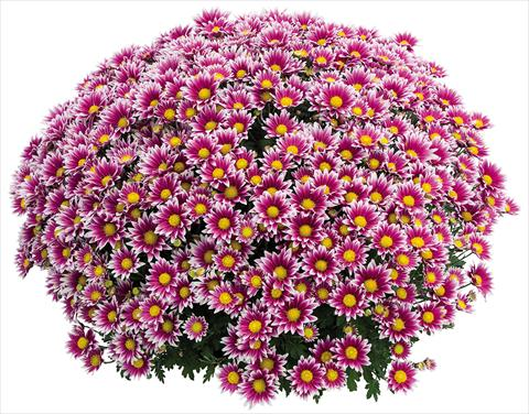 photo of flower to be used as: Pot Chrysanthemum Stela Lilas