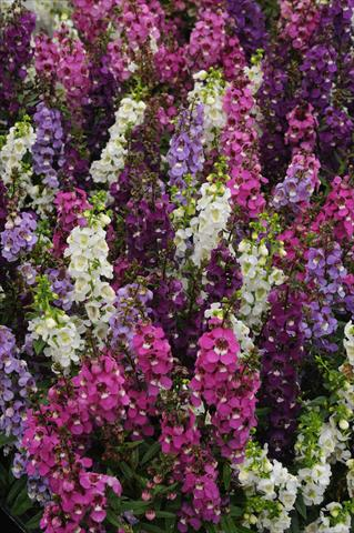 photo of flower to be used as: Pot and bedding Angelonia angustifolia Serenita Speciality Mix