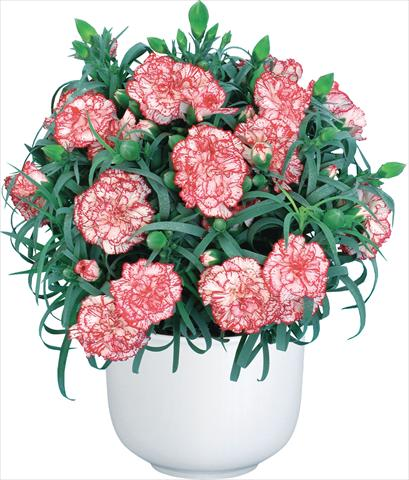 photo of flower to be used as: Cutflower Dianthus caryophyllus Mediterraneo Hyeres