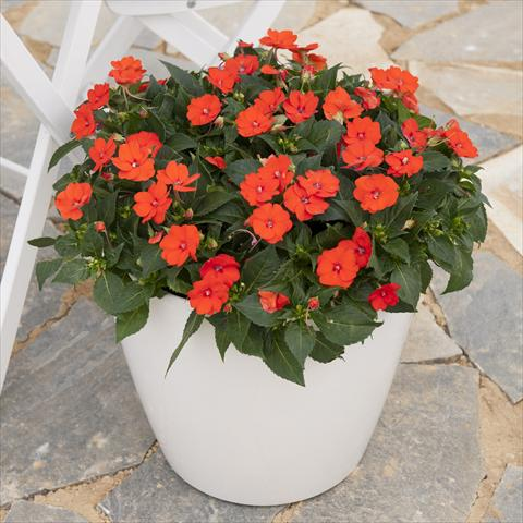 photo of flower to be used as: Pot and bedding Impatiens hybrida Sunpatiens Compact Electric Orange