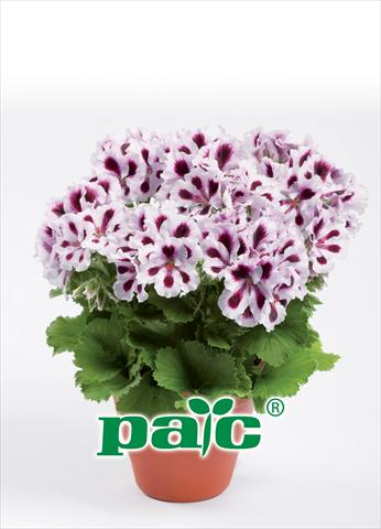 photo of flower to be used as: Pot Pelargonium grandiflorum pac® Aristo Purple Stripes