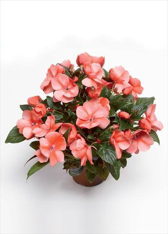 photo of flower to be used as: Pot and bedding Impatiens hawkerii Florific Sweet Orange