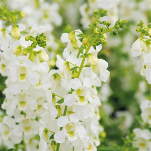photo of flower to be used as: Pot and bedding Angelonia angustifolia Serena White