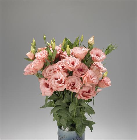 photo of flower to be used as: Cutflower Lisianthus F.1 Super Magic Apricot