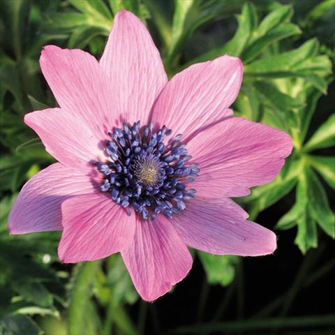 photo of flower to be used as: Cutflower Anemone coronaria L. Linea Concerto® Fuchsia