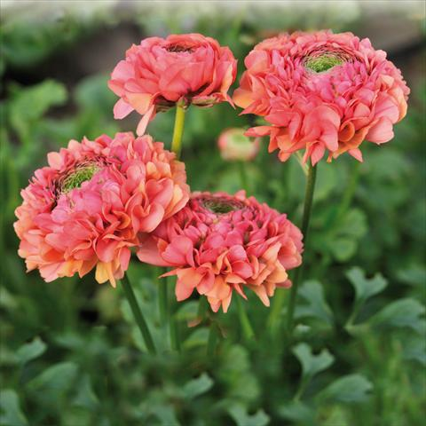 photo of flower to be used as: Cutflower Ranunculus asiaticus Pon-Pon® Minerva