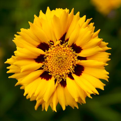 photo of flower to be used as: Pot, bedding, patio Coreopsis grandiflora Andiamo