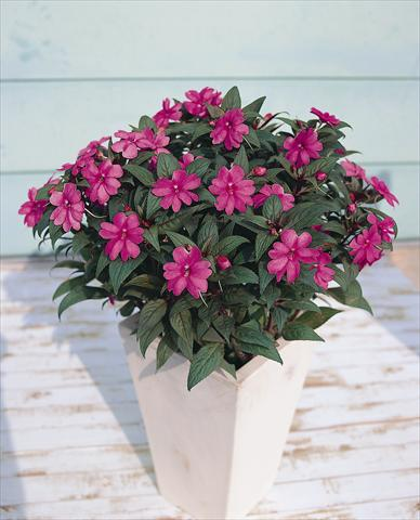 photo of flower to be used as: Pot, bedding, patio Impatiens N. Guinea SunPatiens® Lavender