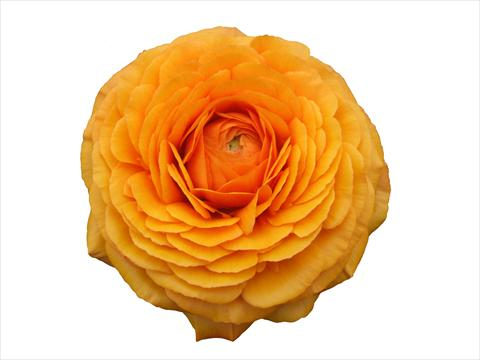 photo of flower to be used as: Cutflower Ranunculus asiaticus Elegance® Clementine 131