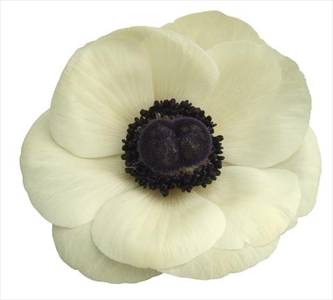 photo of flower to be used as: Pot and bedding Anemone coronaria L. Mistral Plus® Bianco centro nero