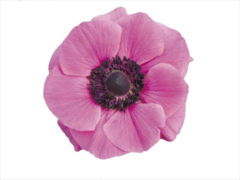 photo of flower to be used as: Pot and bedding Anemone coronaria L. Mistral Plus® Fucsia