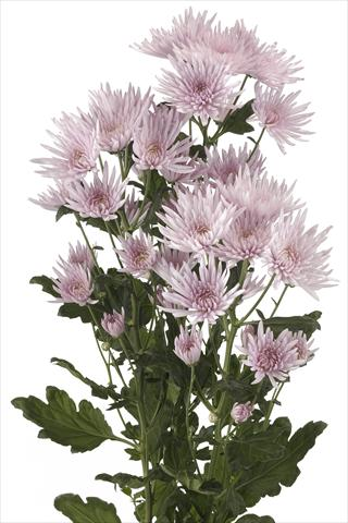 photo of flower to be used as: Cutflower Chrysanthemum Anastasia Pink