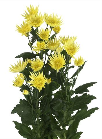 photo of flower to be used as: Cutflower Chrysanthemum Anastasia Sunny